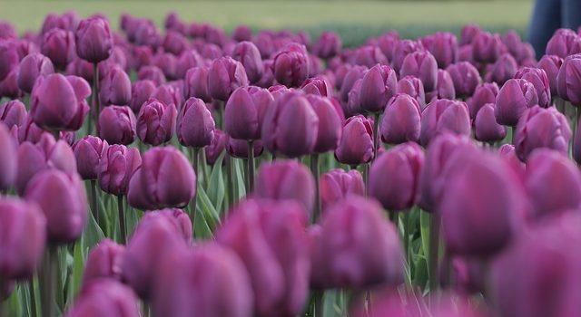 tulips-1362915_640